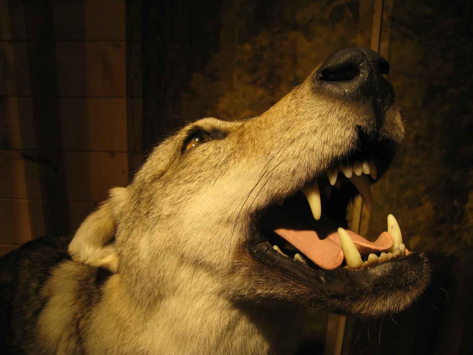 Wolfskopf, heulend
