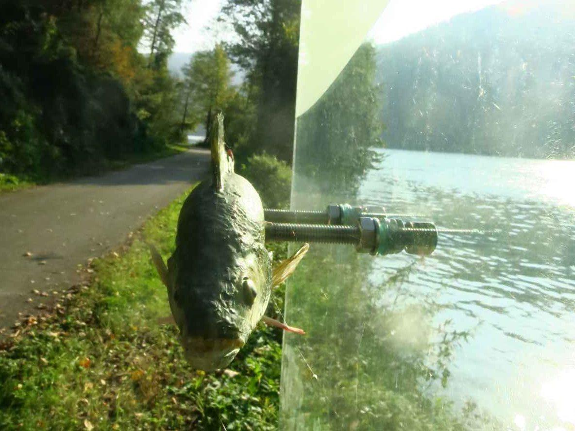 Fischpräparat von vorne